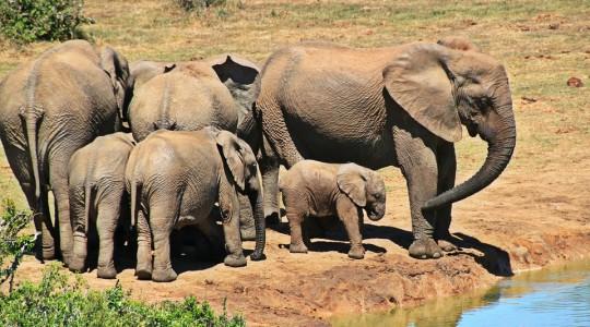 Lac elephas maximus