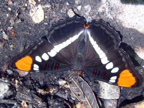 Nymphalidae: Adelpha eulalia 50