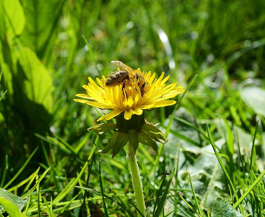 Púpava a včela