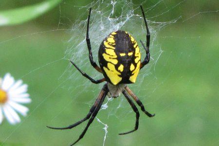 Pavúky v homeopatii
