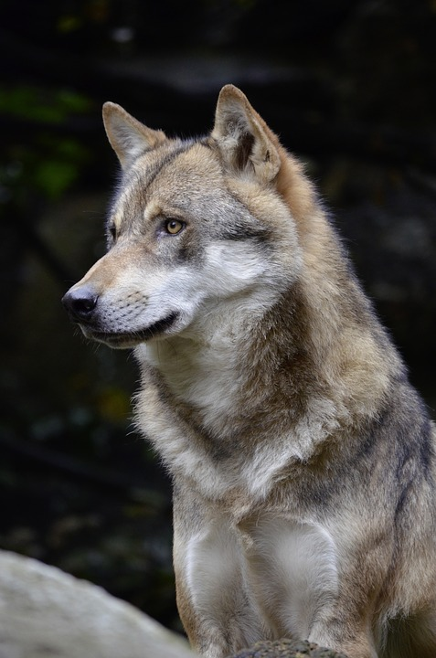 vlk, lac lupinum