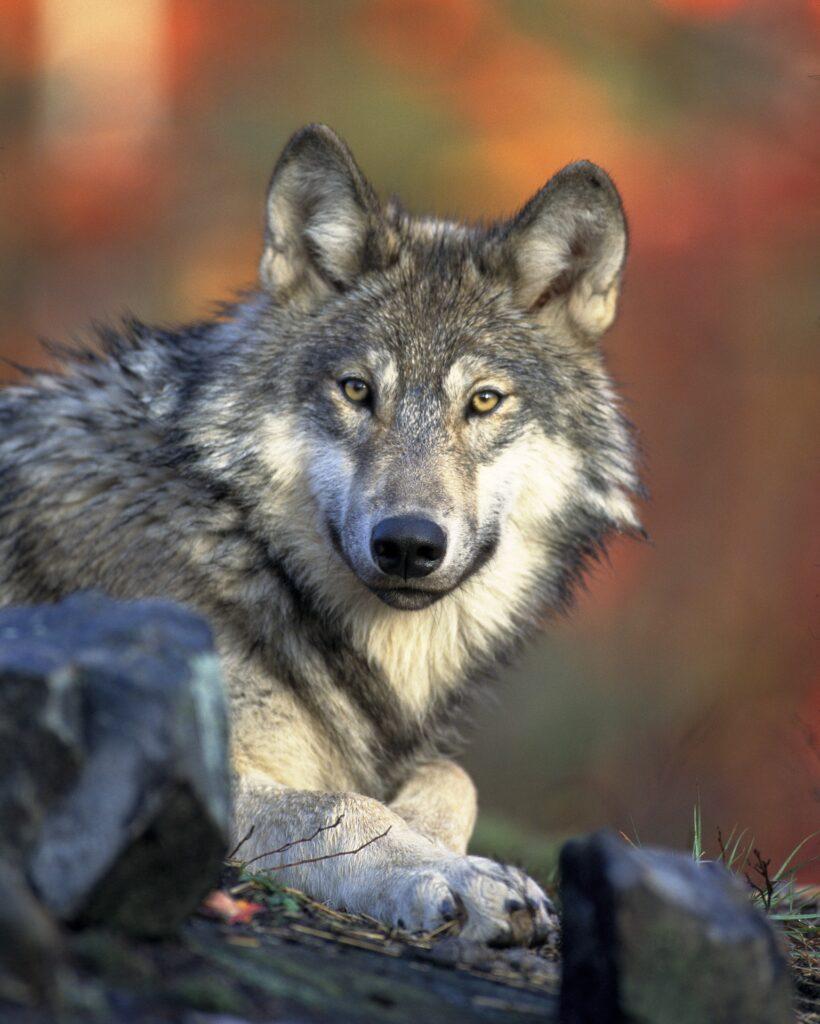 lac lupinum, vlk