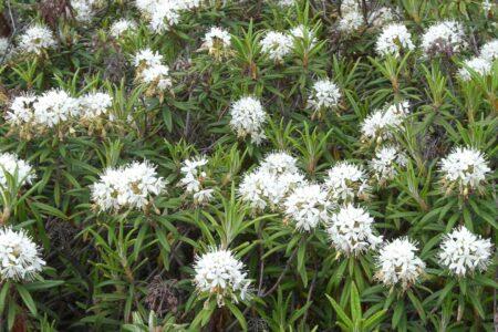 Ledum palustre - (ne)tradičný pohľad na známe homeopatikum